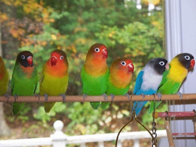 Pengobtan Lovebird Suara Serak