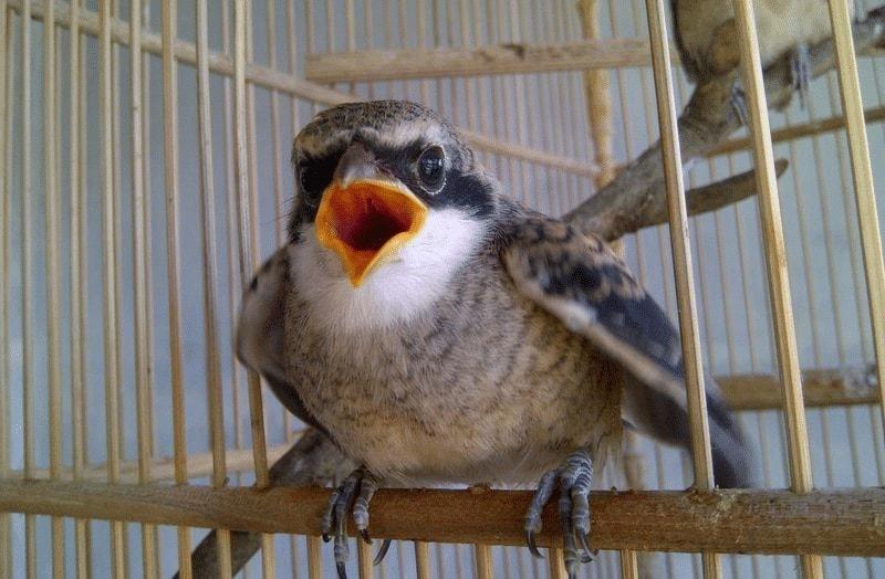 Penyebab Burung Cendet Stress
