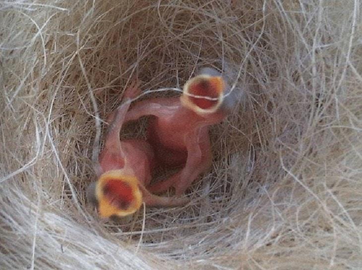 Anakan Burung Pleci
