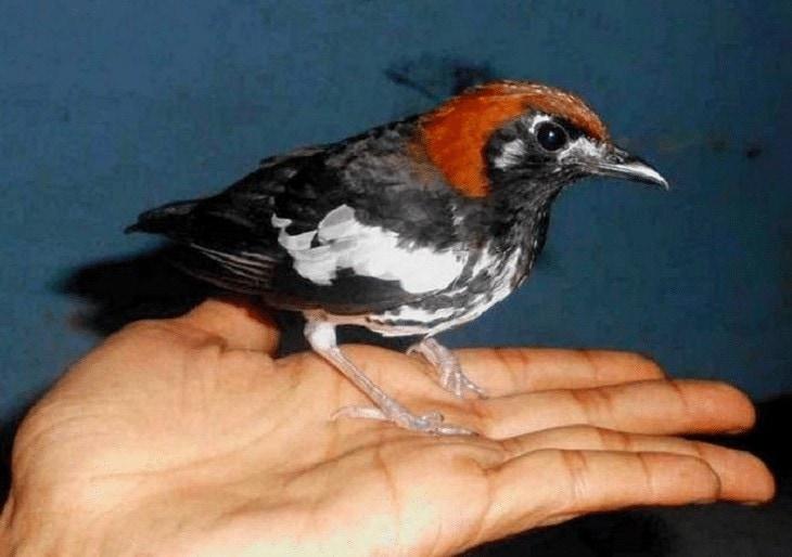 Burung Anis Kembang Sesuai Daerah Asal