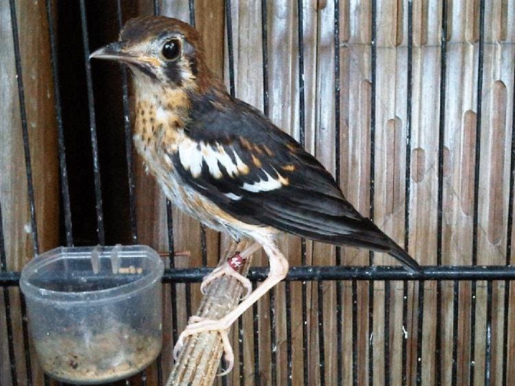 Burung Masih Keadaan Giras