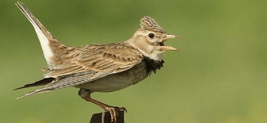 Mengatasi Burung Branjangan Macet Bunyi