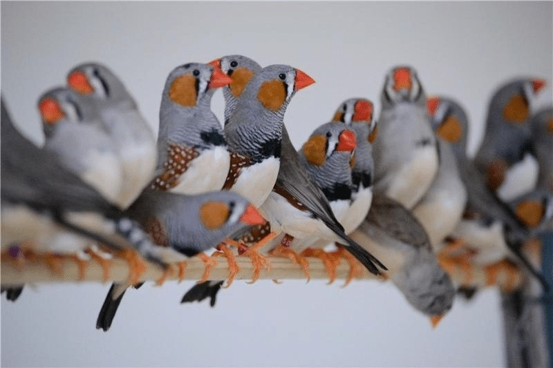 Ternak Burung Finch
