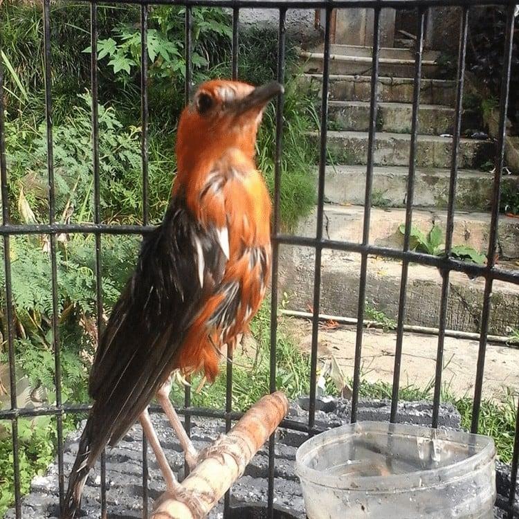 Perawatan Burung Anis Merah Mabung
