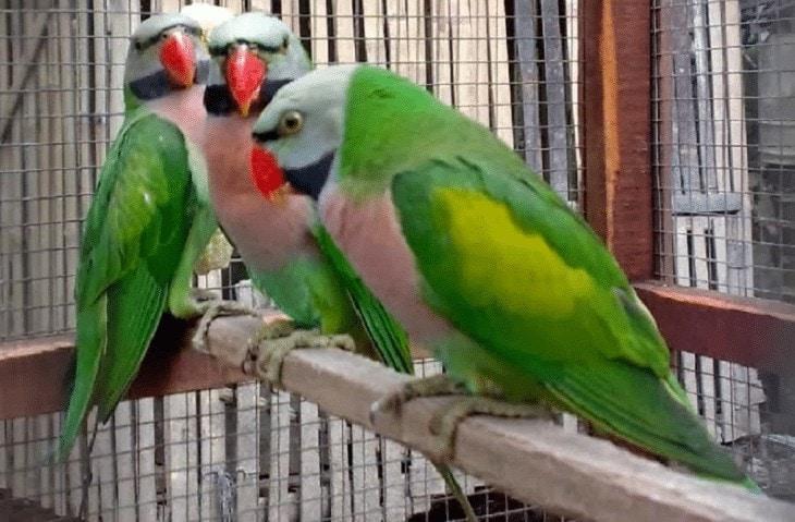 Ciri Burung Betet