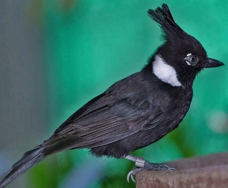 Ciri Khas Burung Cililin