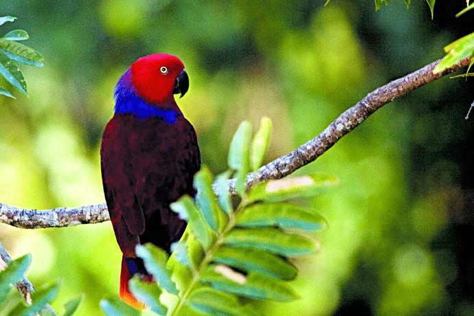 Ciri Khas Burung Nuri Bayan