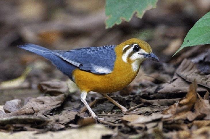 Jenis Burung Anis