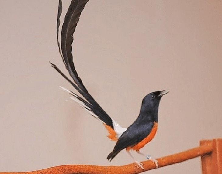 Burung Kicauan Paling Mudah Dikembangbiakkan