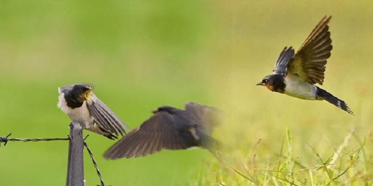 Jenis Burung Sriti Kembang