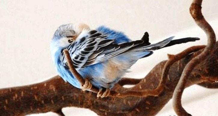 Penyakit Pada Burung Kicauan