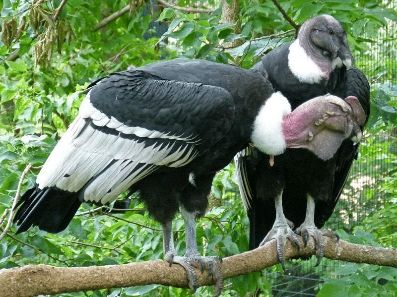 Burung Condor Andes