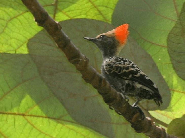 Burung Pelatuk Kundang