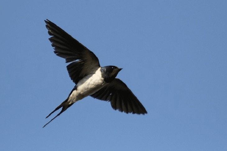 Karakteristik Burung Walet