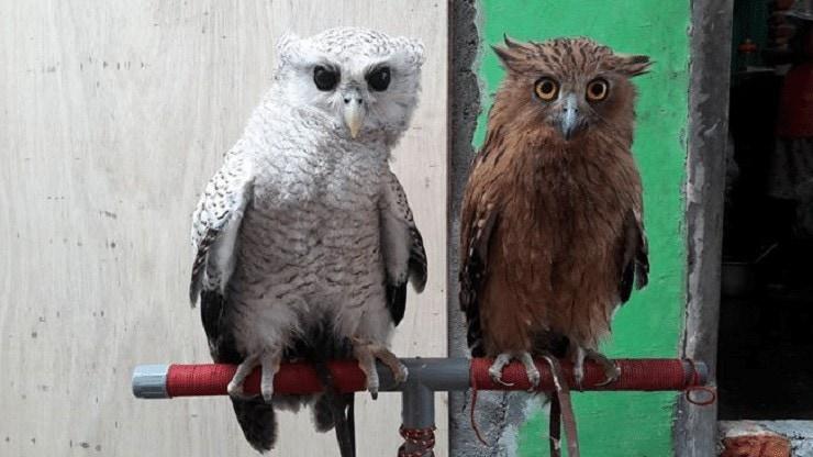 Makanan Burung Hantu Oriental Bay Owl