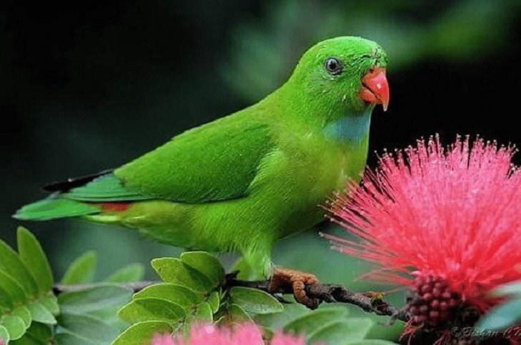 Makanan Burung Serindit
