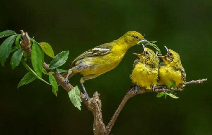Perawatan Anakan Burung Sirtu
