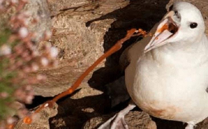 Pertahanan Diri Burung Fulmar