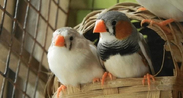 Sarang Burung Finch