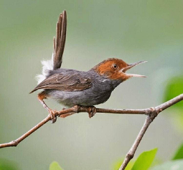 Memelihara Burung Prenjak