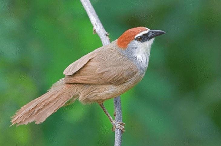 Burung Kicauan Non Lomba