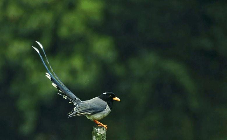 Jenis Burung Ekor Pita
