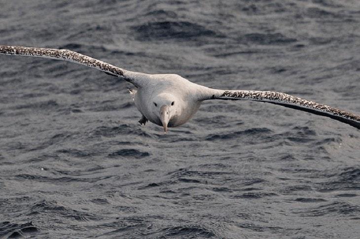 Burung Elang Albatros Pengembara