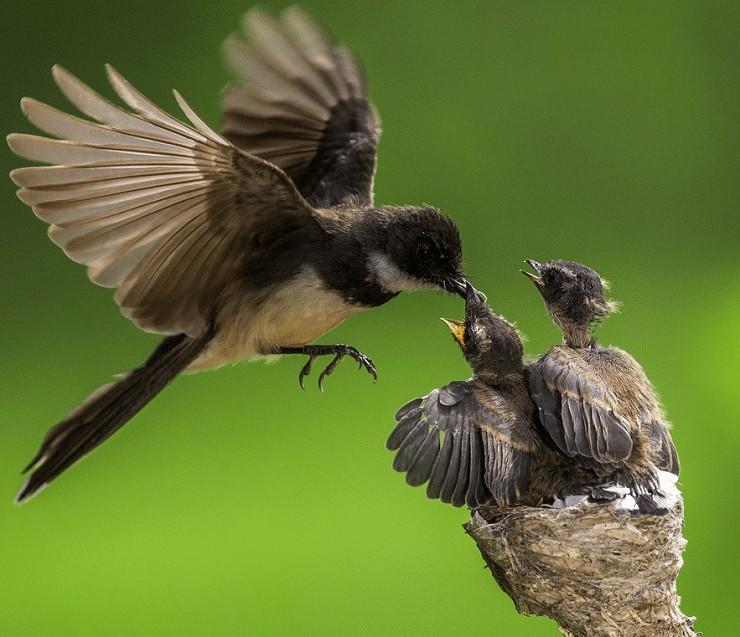 Burung Kipasan Belang