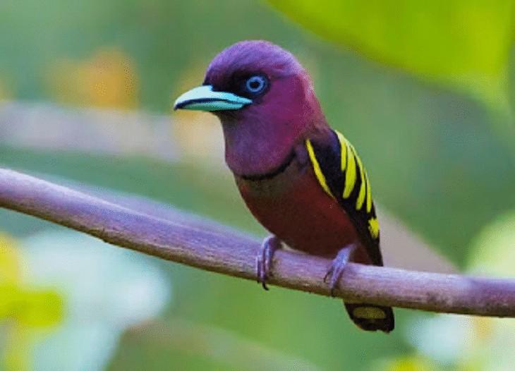 Ciri Fisik Burung Sempur Hujan Rimba