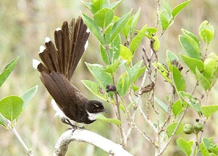 Ciri Khas Burung Kipasan Belang