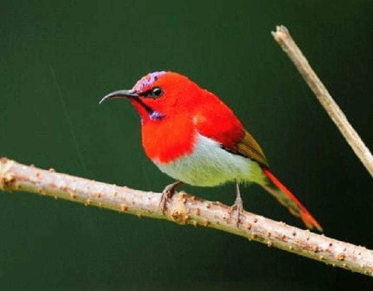 Habitat Burung Madu Ekor Merah