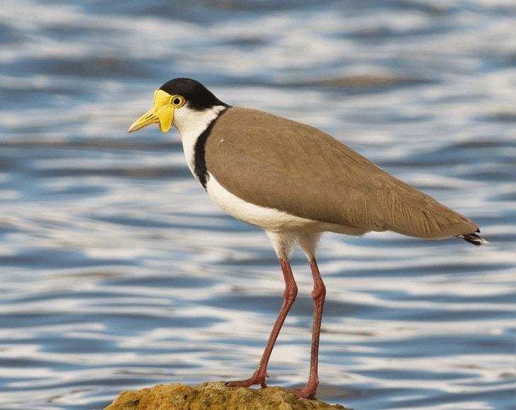 Habitat Burung Trulek Jawa