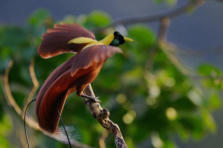 Burung Endemik Papua