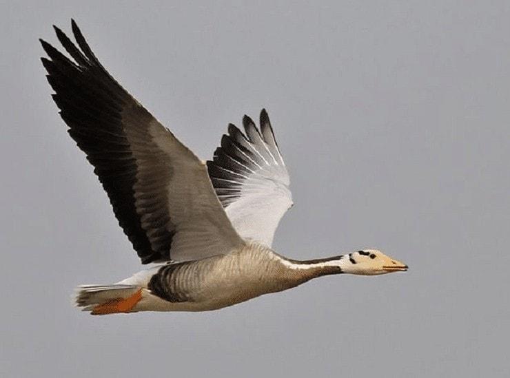 Kemampuan Terbang Bar Headed Goose