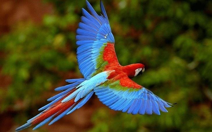 Ciri Burung Scarlet Macaw