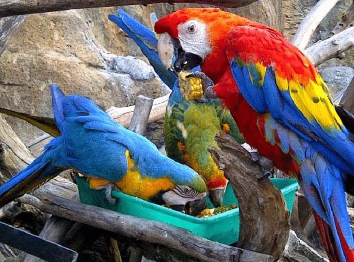 Perilaku dan Karakter Macaw Scarlet