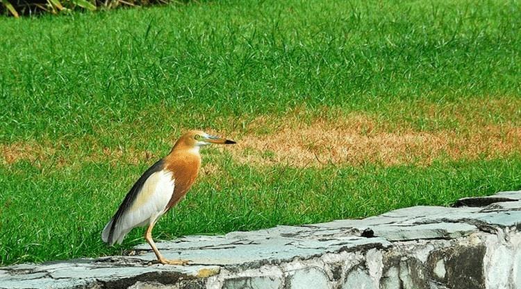 Persebaran Burung Blekok Sawah