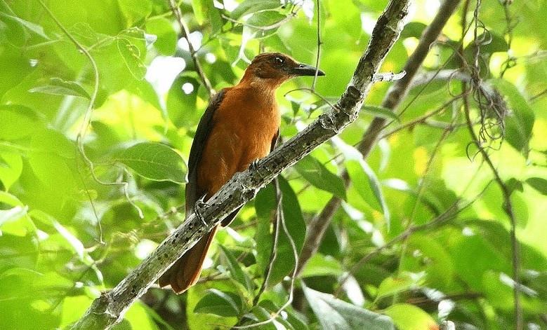 Species Burung Pitohui