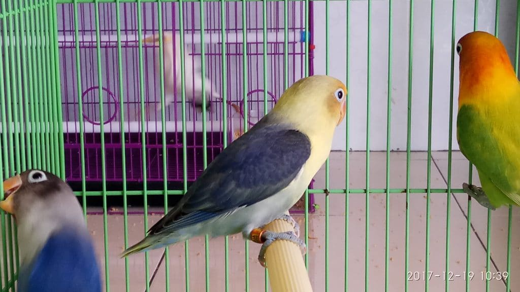 Love Bird Parblue Violet