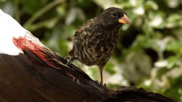Jenis Burung Penghisap Darah