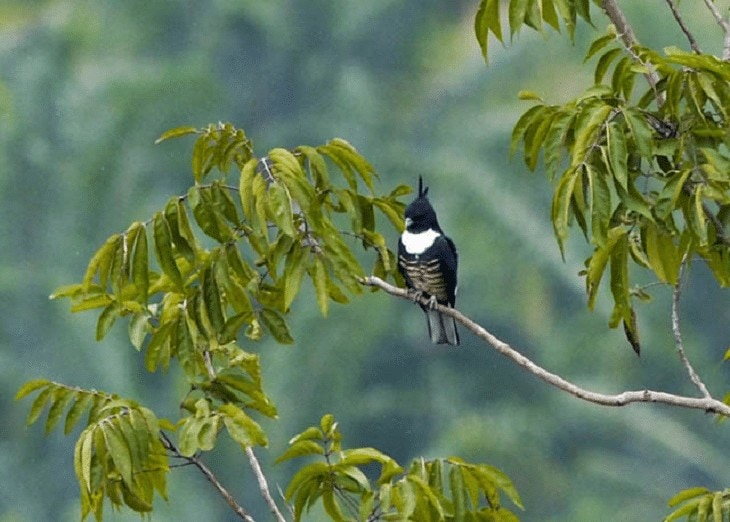 Black Baza Burung Langka
