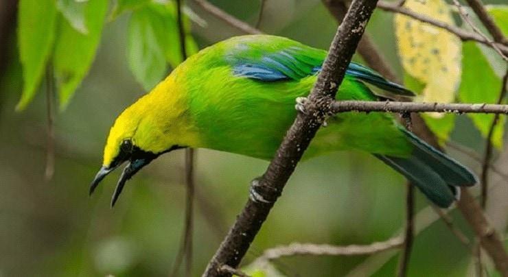 Cara Merawat Burung Cucak Rante