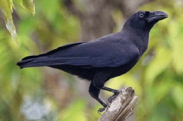 Ciri Burung Gagak Banggai