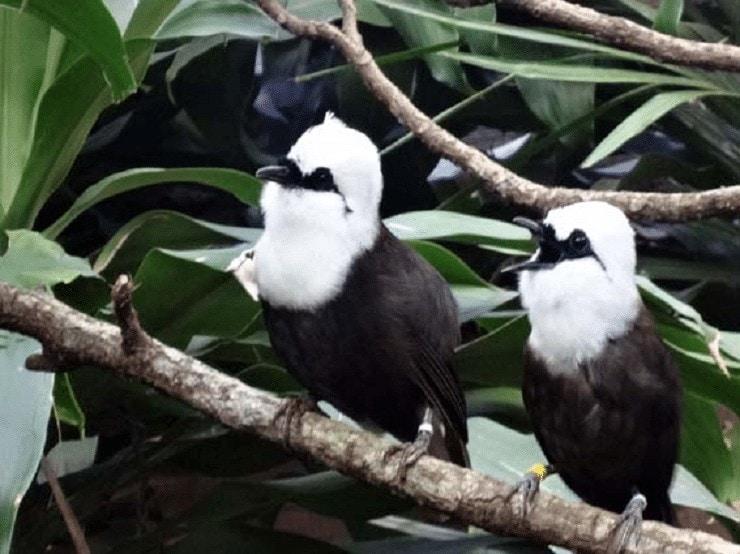 Ciri Burung Poksay Sumatera
