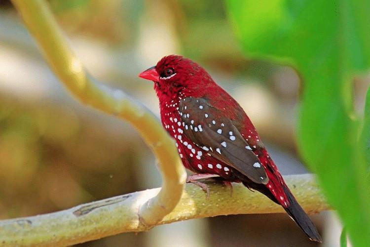 Ciri Burung Strawberry Finch
