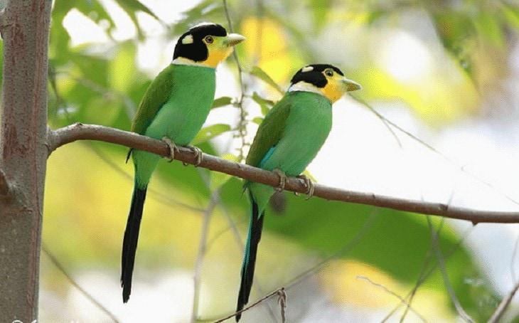 Ciri Fisik Burung Madi Injap