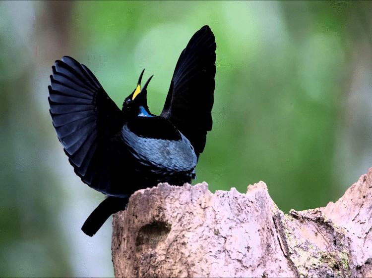 Ciri Khas Burung Cenderawasih Kerah