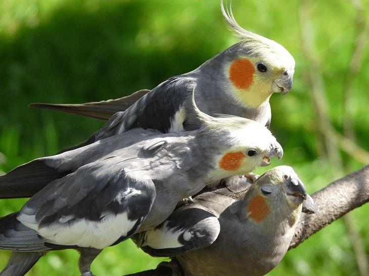 Habitat Burung Cockatiel