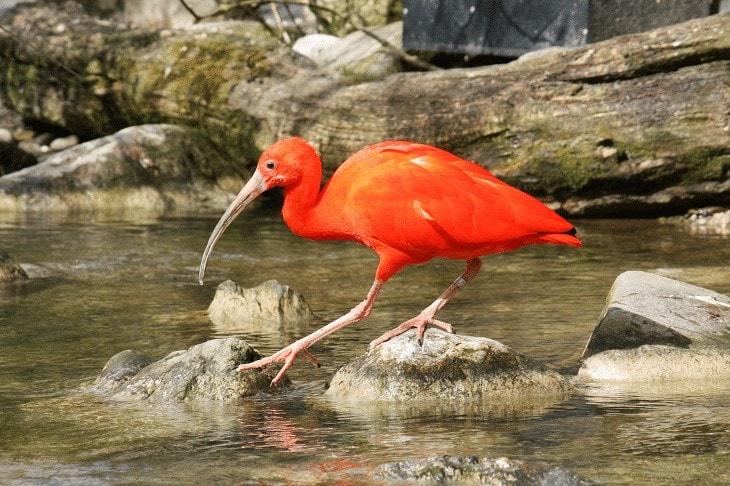 Jenis Burung Ibis
