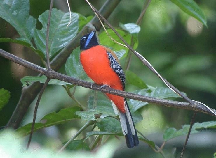 Burung Langka Endemik Kalimantan